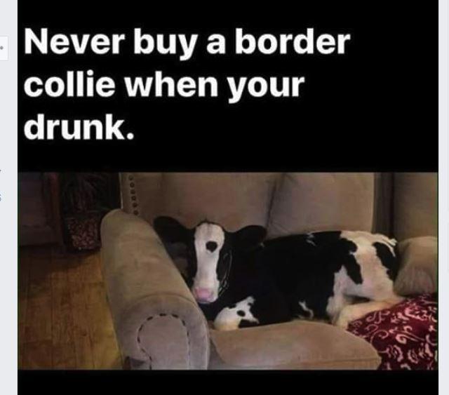 border collie.JPG